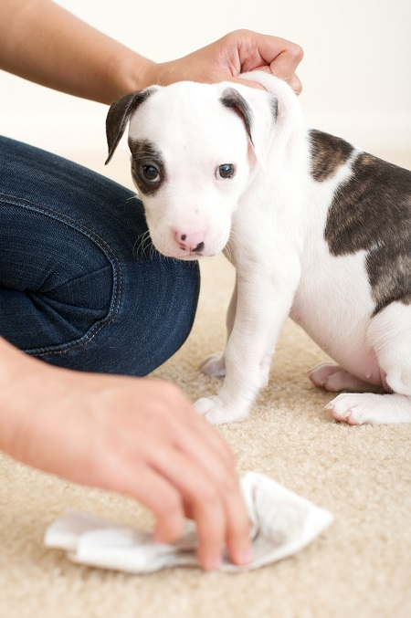 Puppy with spot on carpet being cleaned